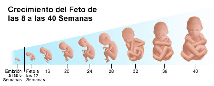 evolución del feto en el útero