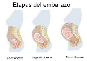 Segundo trimestre de embarazo, semana 13